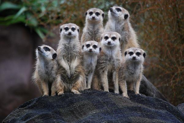 suricata-suricatta-auckland-zoo-group-8a_l